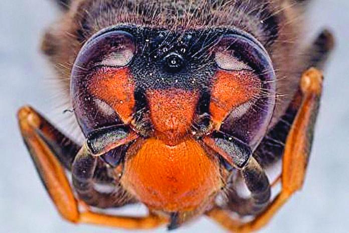 蜜蜂有五隻眼睛。(Getty Images)