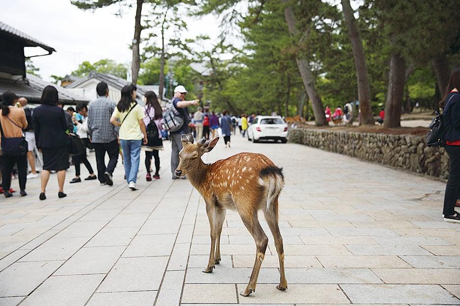 寺廟、梅花鹿、公園綠地是奈良三大特色。(PIXTA)