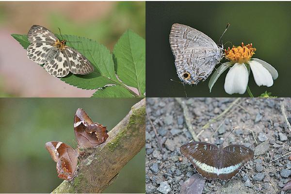 環保團體在大欖郊野公園邊陲發現多種罕見蝴蝶,例如白弄蝶(左上)、生灰蝶(右上),還有曲紋黛眼蝶(左下)和綠裙邊翠蛺蝶(右下)等近年才首次在港發現的蝴蝶。(綠色力量提供)