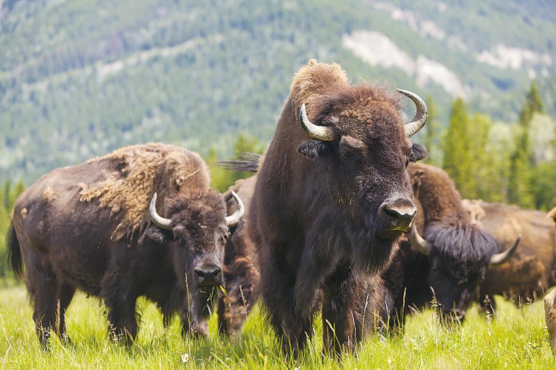 野牛曾經是草原的主人。(Fotolia)