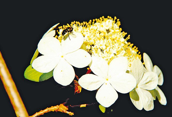 唐招提寺內鑑真和尚故鄉揚州的名花──瓊花。
