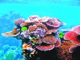 海溫升高世界最北珊瑚礁也白化