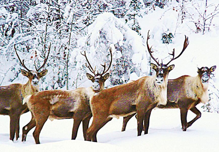 北部地區常見聖誕老人的坐騎——馴鹿。(加拿大政府網站)