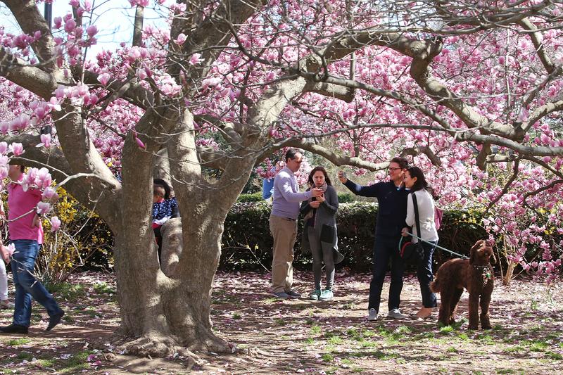 華盛頓櫻花浪漫登場 譜寫早春序曲