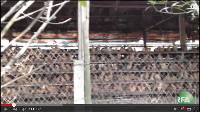 自由亞洲電臺的調查發現,廣東深圳某家養雞場以低價出售病死雞給攤販或香腸製造商。(視頻擷圖)