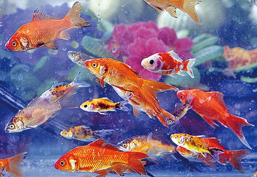 全賴「釀酒」功夫 金魚在缺氧中求生