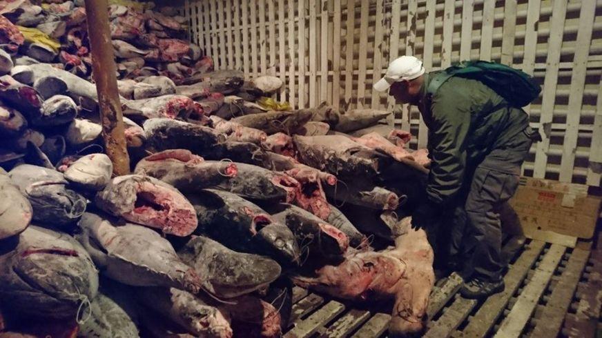 一艘中國漁船8月13日在厄瓜多爾被扣押,船上300噸魚中含有瀕危鯊魚種。(厄瓜多爾政府圖片)