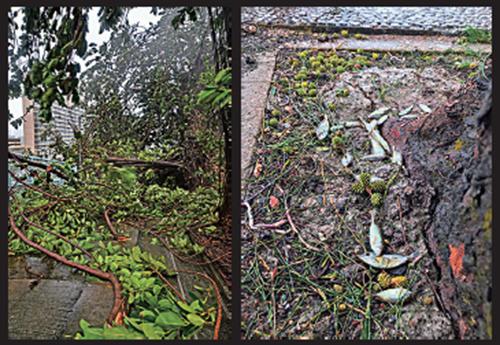 (左)有大樹倒塌,樹葉、樹枝及雜物隨處飄浮。(右)水退後,地上留下被潮水衝上岸的小魚。(余鋼/大紀元)