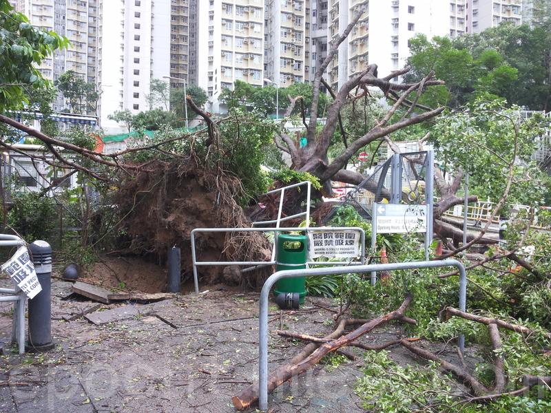 聯合醫院外有一棵約10米高大樹被強風吹倒,進出醫院的車路一度全線需要封閉。(讀者提供)
