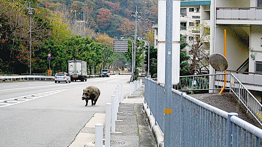 在神戶經常可以看見野豬出沒,且牠們不怕人,自得其樂。(網絡圖片)