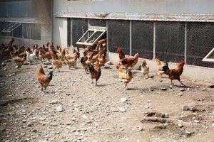 繼毒雞蛋之後 南韓又查出含農藥的「毒雞」