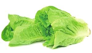 【種植清新香草】生菜lettuce