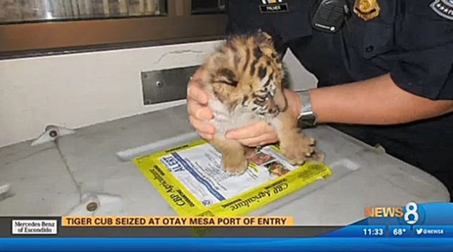 從墨西哥帶老虎入境美國 加州少年被捕