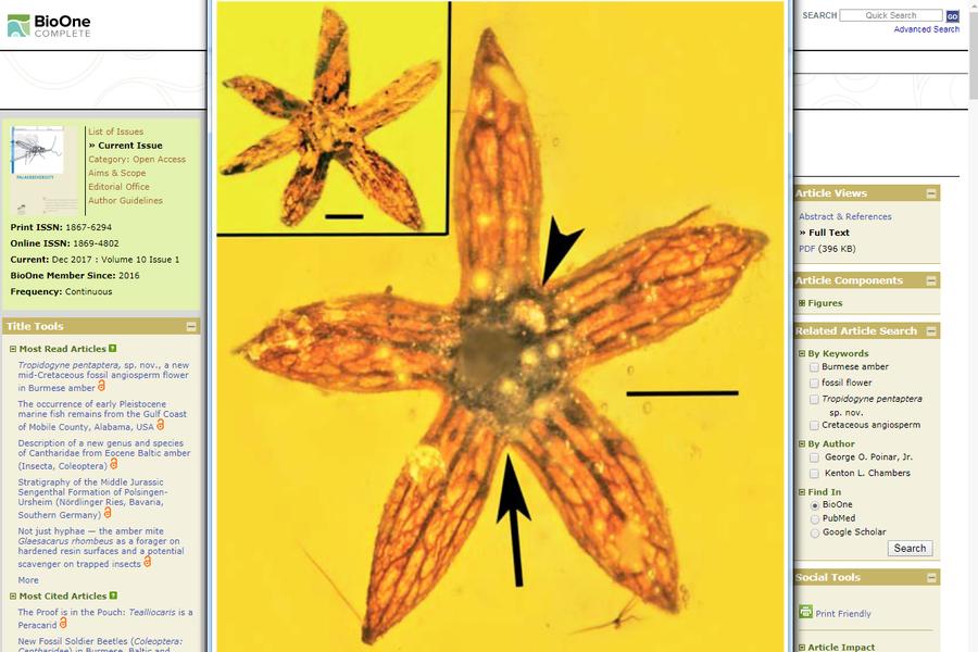 緬甸驚現一億年前琥珀小花 栩栩如生