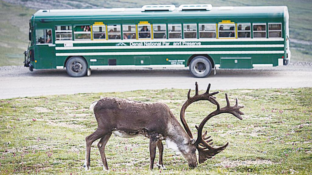 迪納利國家公園內的馴鹿。(Denali National Park)