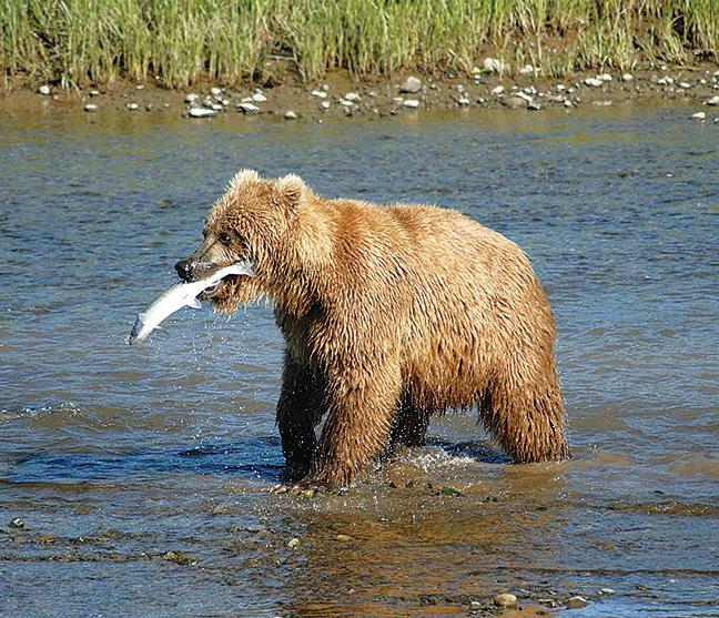 阿拉斯加棕熊。(維基百科)
