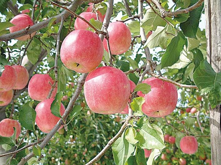 木村秋則種植出的蘋果是很多人都認為「一生能吃到一次就滿足」的蘋果。(網絡圖片)