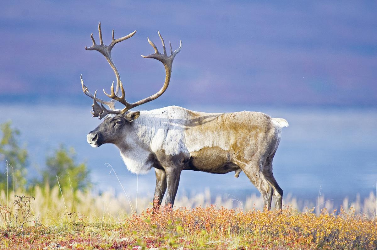 阿拉斯加馴鹿。(Shutterstock)
