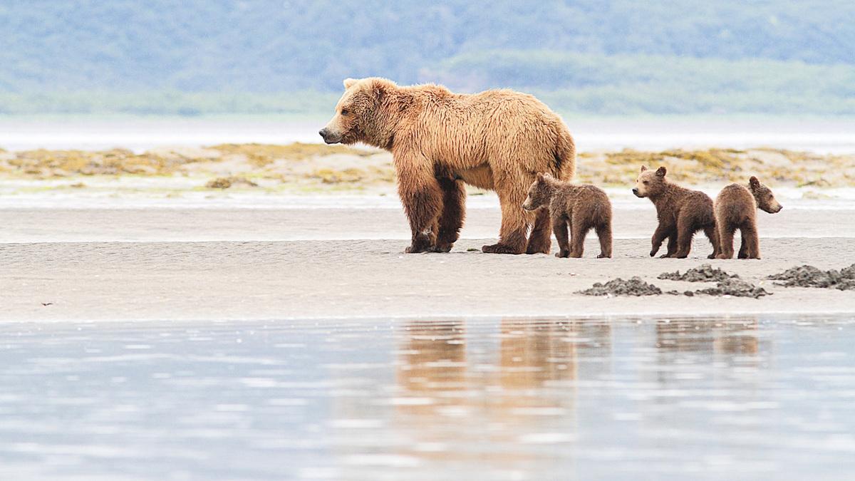 阿拉斯加棕熊,體形碩大,一般的雄性體重可達900磅。(Fotolia)