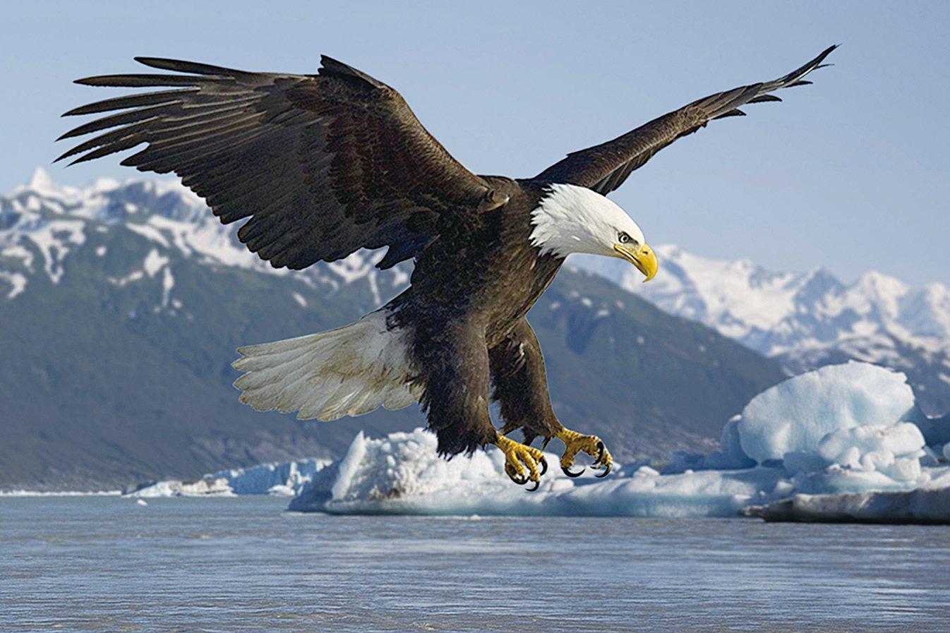 阿拉斯加最有名的飛禽——禿鷹,也叫白頭鷹,是美國的國鳥。(網絡圖片)