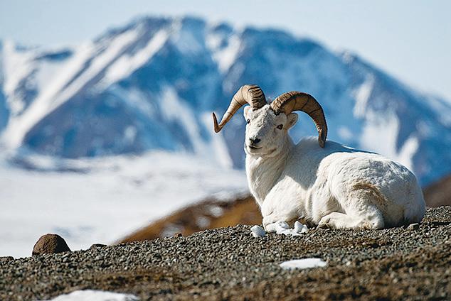 阿拉斯加大角羊。(維基百科)