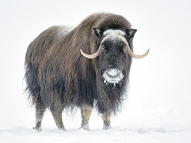 阿拉斯加的特色牛——麝香牛。(網絡圖片)