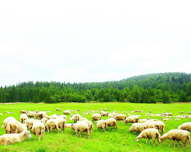 現代牧人的四季日常 還有他的羊(2)