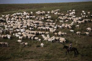 中共欲毀滅內蒙遊牧文明 強迫牧民養豬養驢