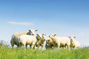 書摘:《山牧之愛》現代牧人的四季日常 還有他的羊(5)