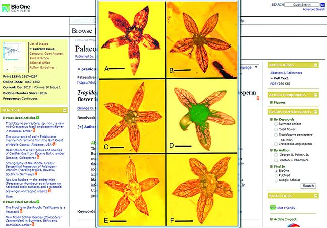 這是一億年前的琥珀小花。其形狀和結構與現在的花極其相似。(學術期刊《Palaeodiversity》網頁截圖)