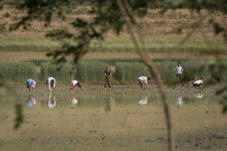 2017年6月2日拍攝的照片顯示,北韓開城郊區的農民在稻田種植水稻。(AFP PHOTO / Ed JONES)