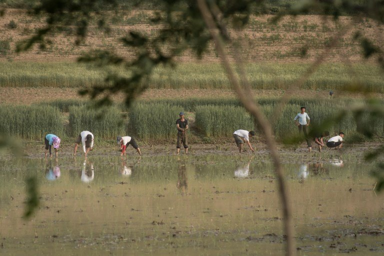 北韓饑荒缺人手 讓外國遊客「插秧種稻」