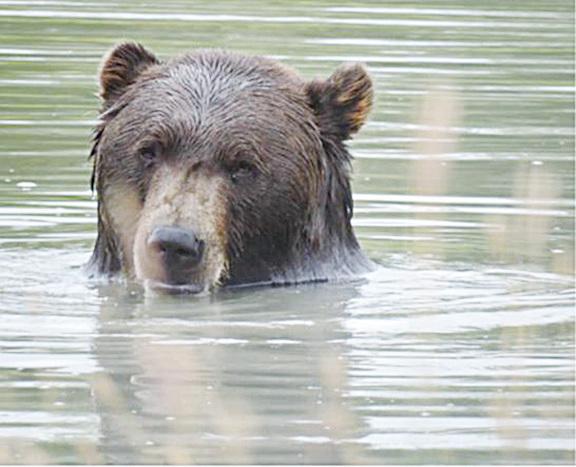 阿拉斯加野生動物保護中心內,悠閑自得戲水的棕熊。(北國散人)