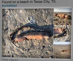 哈維颶風後 一神秘海洋生物橫屍德州海灘