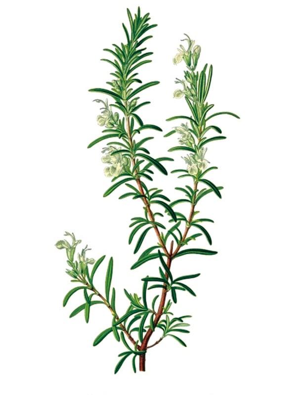 迷迭香很適合居家種植。