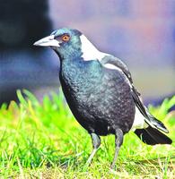 澳洲喜鵲「泡著吃」進食習慣挑戰進化學說