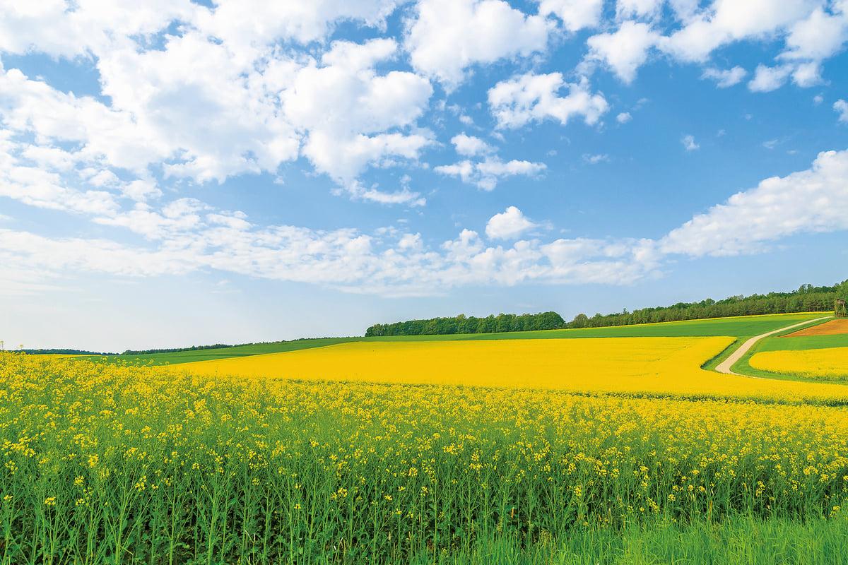 黃色的油菜花 (fotolia)