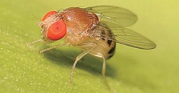研究發現通過提高果蠅細胞中Drp1蛋白的水平,可以將果蠅壽命延長10%至20%。(網絡圖片)