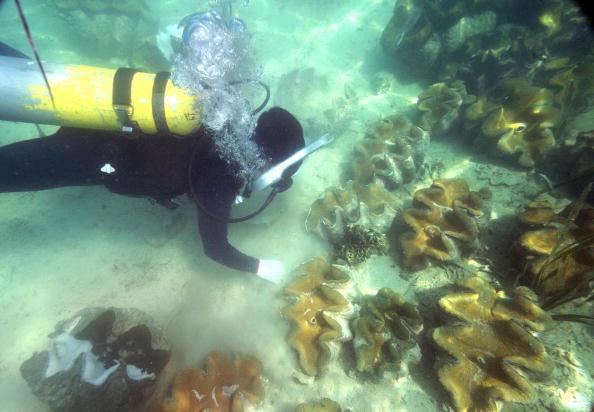 圖為2008年10月18日,海洋研究人員在海床上收集硨磲的精子。(ROMEO GACAD/AFP/Getty Images)