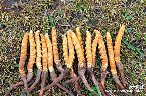 青蠶製的假蟲草。(網絡圖片)