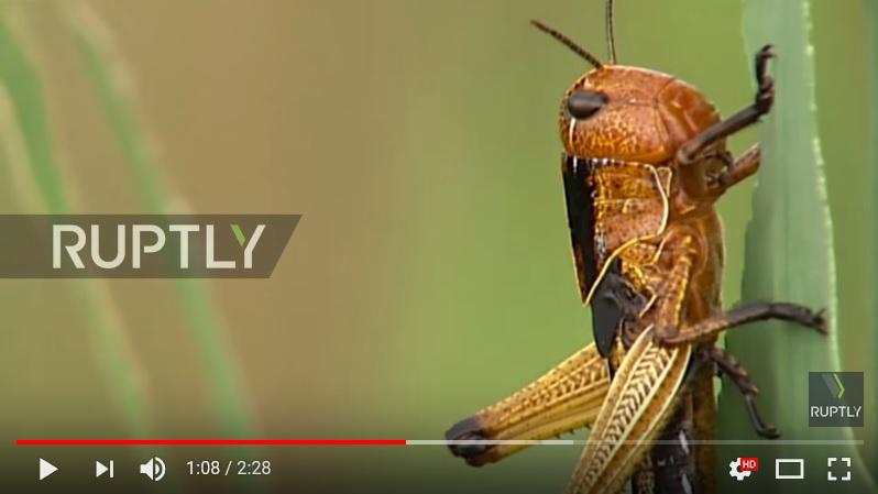蝗蟲長這個樣子。(視像擷圖)