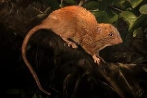 所羅門群島驚現巨鼠新物種 身長近半米