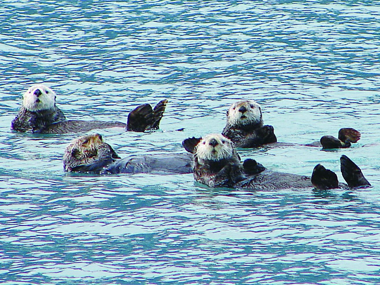 Prince William Sound水域的海獺。(網絡圖片)