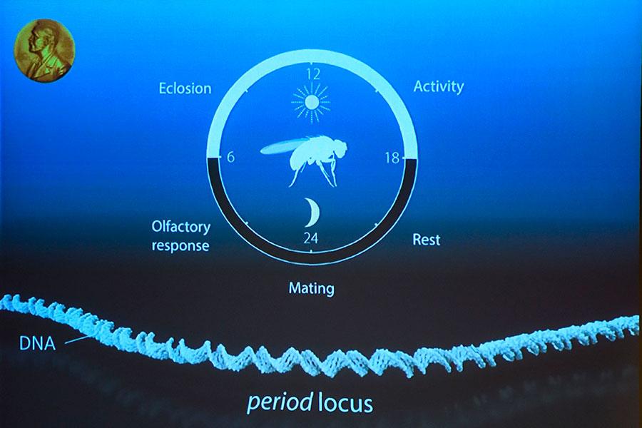 今年成為諾貝爾獎醫學獎得主的三位科學家利用果蠅作為模式生物,分離出一個能控制日常生物節律的基因。他們發現這種基因編碼一種蛋白質,這種蛋白質夜間在細胞中增加,白天則減少。(JONATHAN NACKSTRAND/AFP/Getty Images)