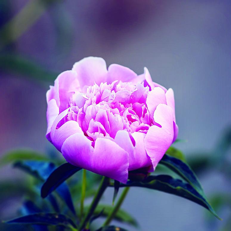 薛寶釵代表花卉是牡丹。其服用的冷香丸,配伍的其中一種花是牡丹花蕊。圖為盛開的牡丹花。(fotolia)