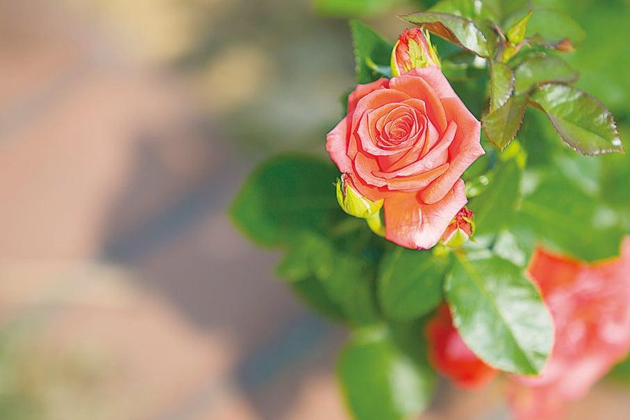 玫瑰。(大紀元資料圖片)