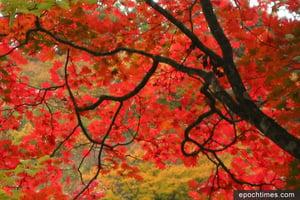 【節氣】寒露九月節 黃花紅葉蟹盈筐