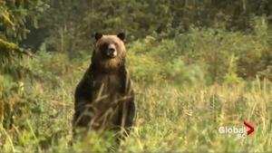 「把我當成布娃娃」 男子遭熊攻擊死裏逃生