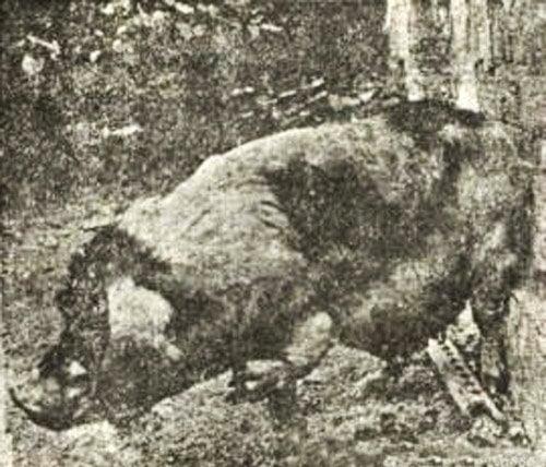 1923年在上海發生一宗「人畜輪迴轉世」事件。一隻豬竟然長著人手。(網絡圖片)