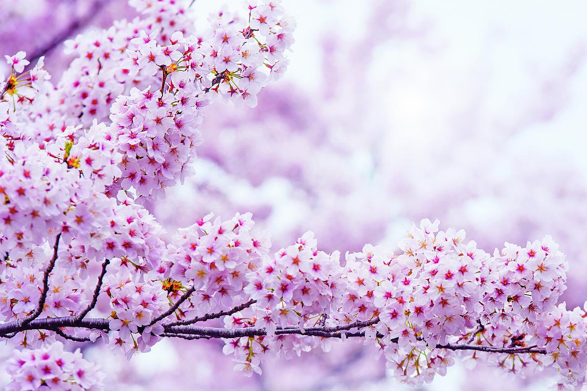日本東京上野公園櫻花(shutterstock)